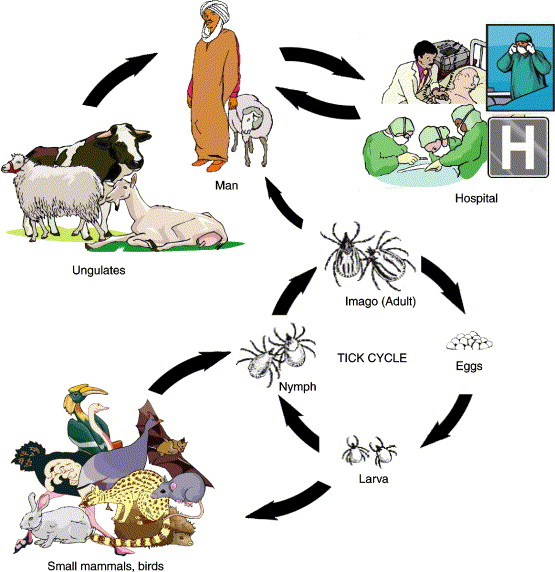 CCHF infection cycle