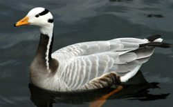 bar-headed-goose-1